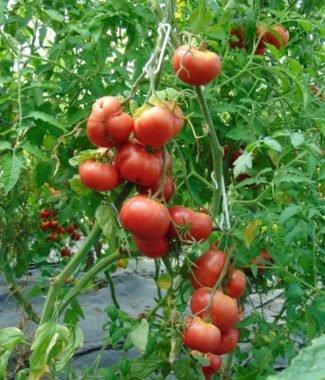 Seminte de rosii soiul Cnkovic Yugoslavian