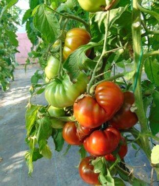 Seminte de rosii soiul Gigant Kuby