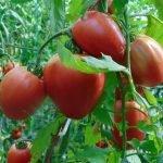 Seminte de rosii soiul Rosii de Saracsau