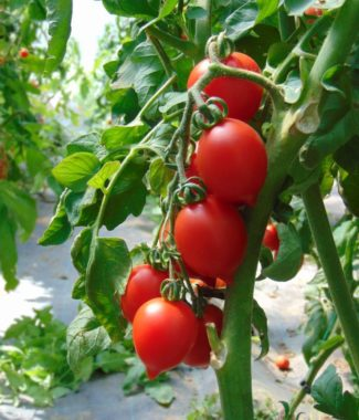 Seminte de rosii soiul Borgo Cellano