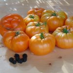 Seminte de rosii soiulSummer Cider Apricot