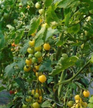 cerry Albe 1