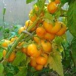 Seminte de rosiiKangaroo Paw Yellow