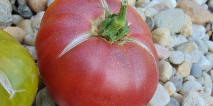 seminte de rosii soiul Rosella Purple