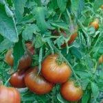 seminte de rosii soiul Paul robeson