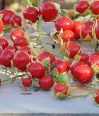 Roșia sălbatică Solanum sisymbriifolium
